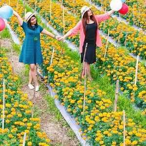 Ladang Bunga Marigold Bali